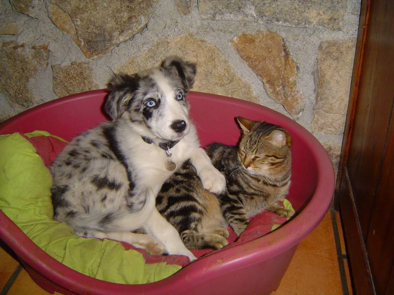 chiot - nouveau chiot avec trois chat probleme Dsc01610