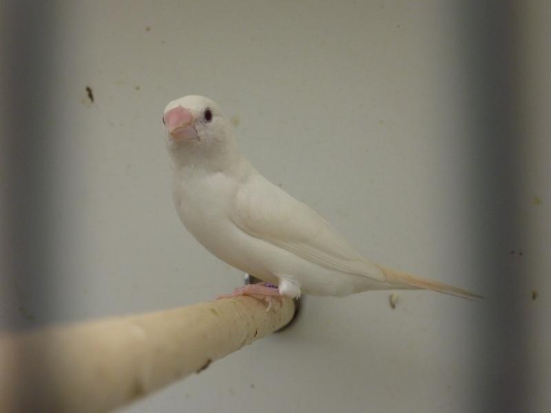 Bec d'argent albino et accouplement P1030026