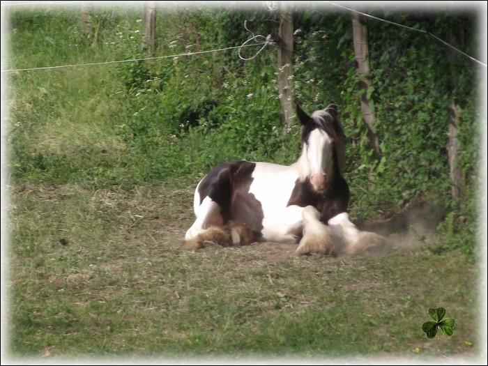 Cillbarra Léo, hongre Irish Cob au Domaine des Merveilles 14-05-17
