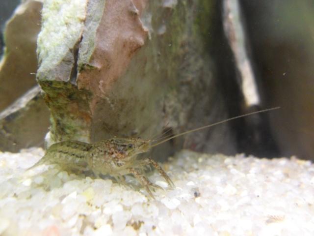 L'écrevisse Procambarus sp marmor doit on arrêter sa maintenance? Sam_5510