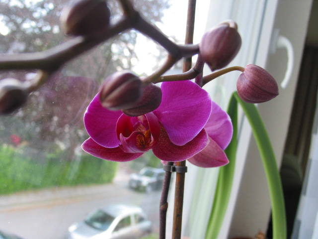 Orchideen - Seite 4 Orchid11