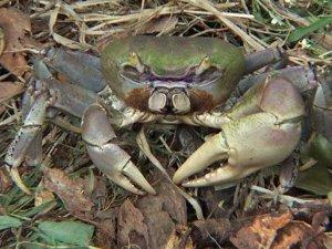 Les dangereux mythes de Fukushima - Page 2 Crabe-10