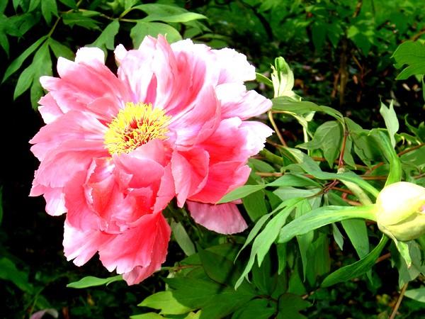 Lub caij paj tawg lawm os lawv aw! ( le retour du printemps/the return of spring)  Dsc08610
