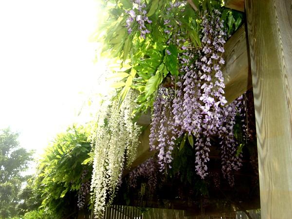 Lub caij paj tawg lawm os lawv aw! ( le retour du printemps/the return of spring)  Dsc08619