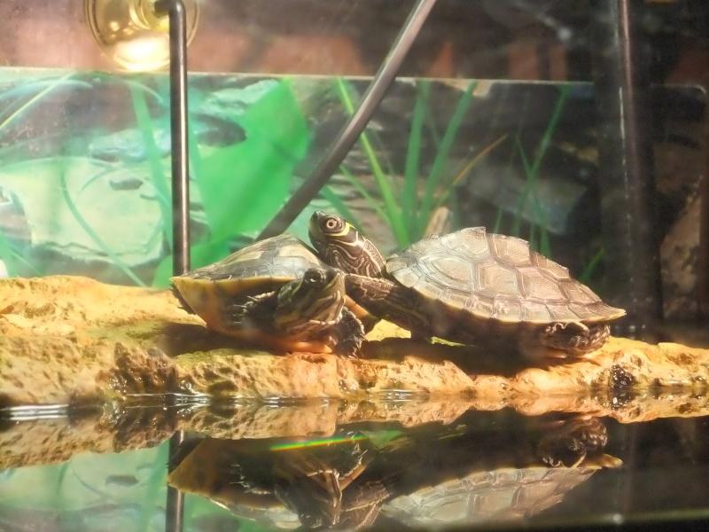 Mes tortues (Marjorie) Dscf2814
