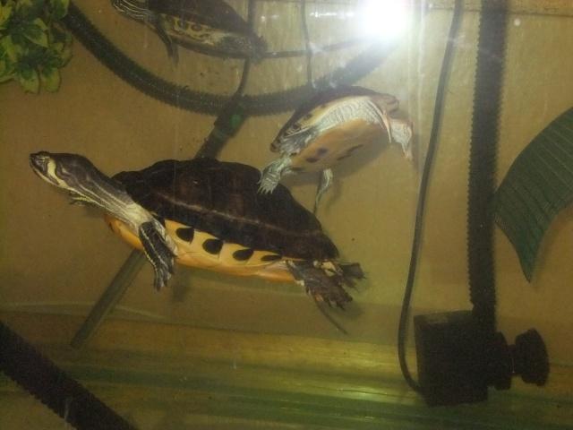 Mes tortues (Marjorie) Dscf2817