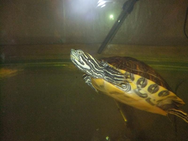 Mes tortues (Marjorie) Dscf2916