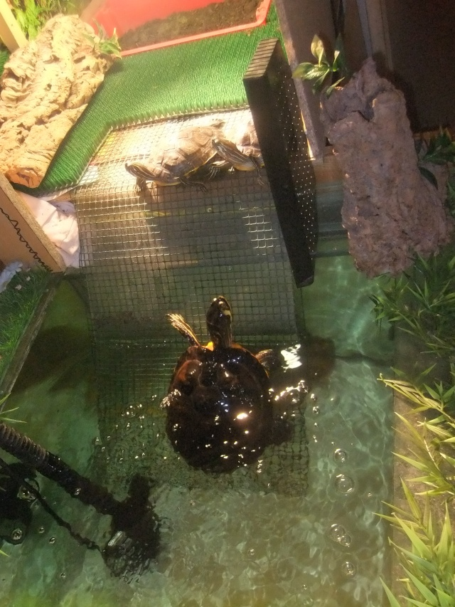 Mes tortues (Marjorie) Dscf2917