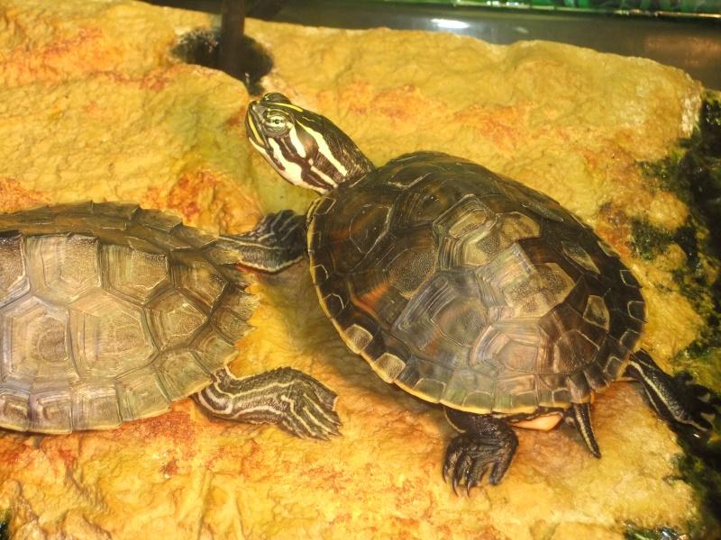 Mes tortues (Marjorie) Dscf3021