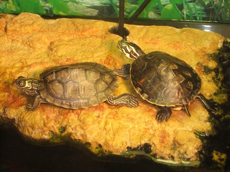 Mes tortues (Marjorie) Dscf3023