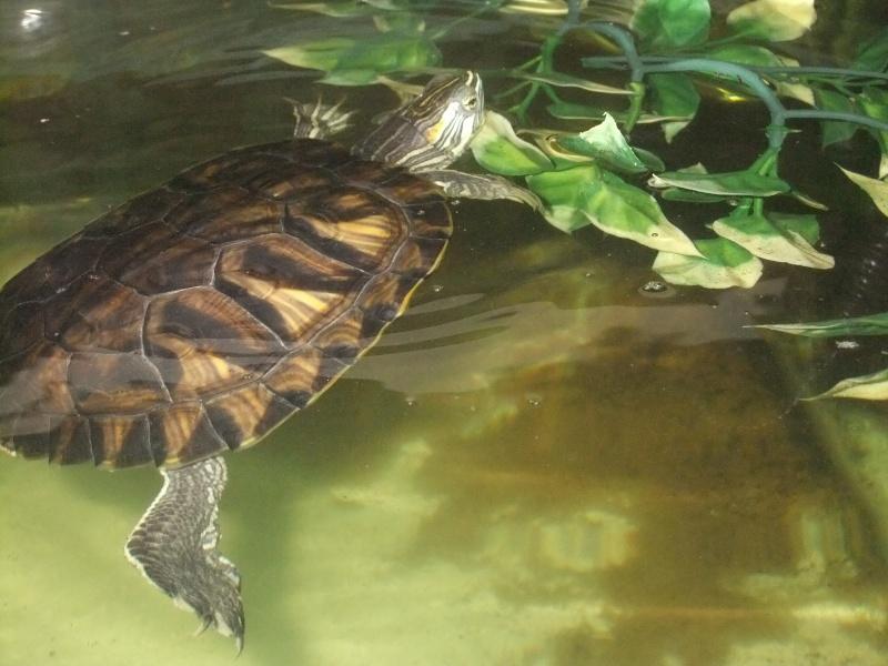 Mes tortues (Marjorie) Dscf3110