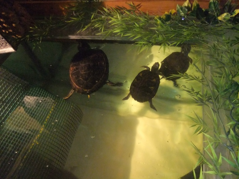 Mes tortues (Marjorie) Dscf3111