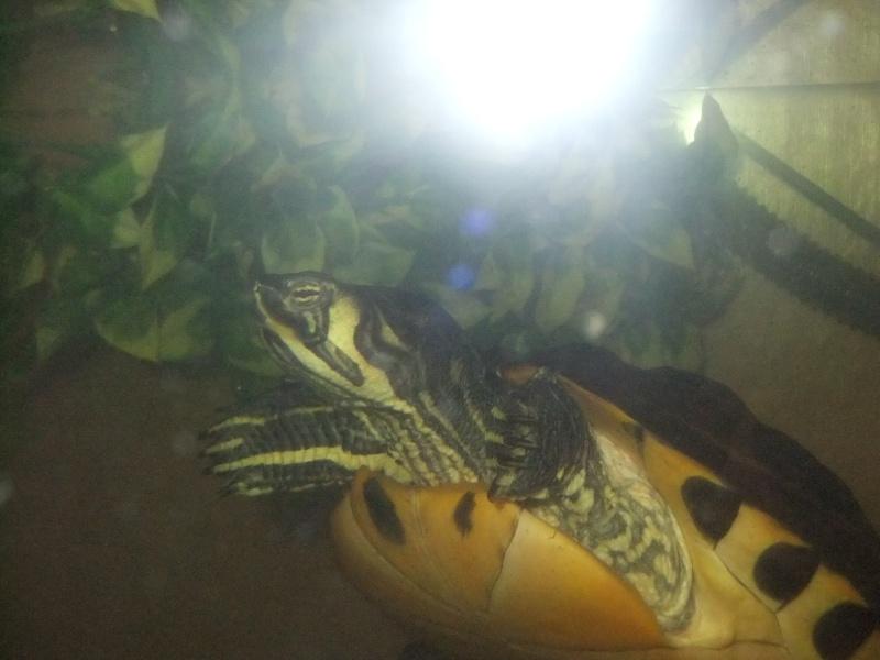 Mes tortues (Marjorie) Dscf3112