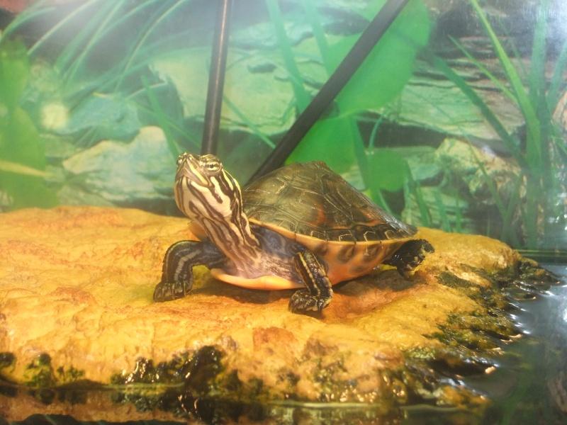 Mes tortues (Marjorie) Dscf3210