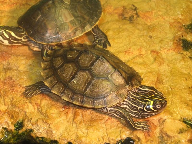 Mes tortues (Marjorie) Dscf3212