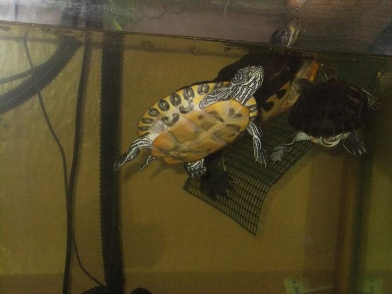 Mes tortues (Marjorie) Dscf3213