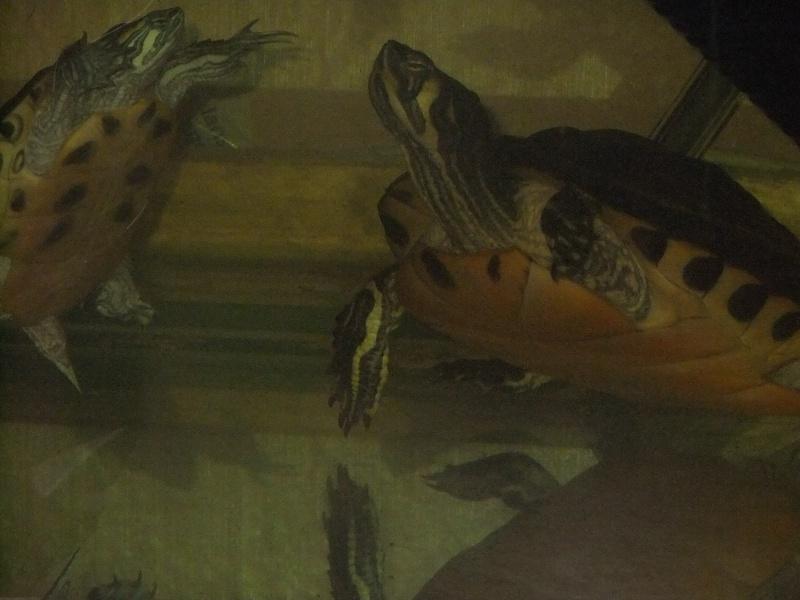Mes tortues (Marjorie) Dscf3215