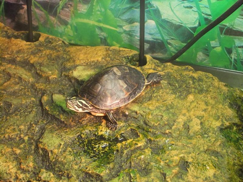 Mes tortues (Marjorie) Dscf3310
