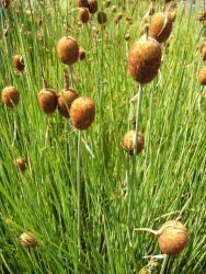 GUIDE POUR VOS PLANTES DE BASSIN Typha-10