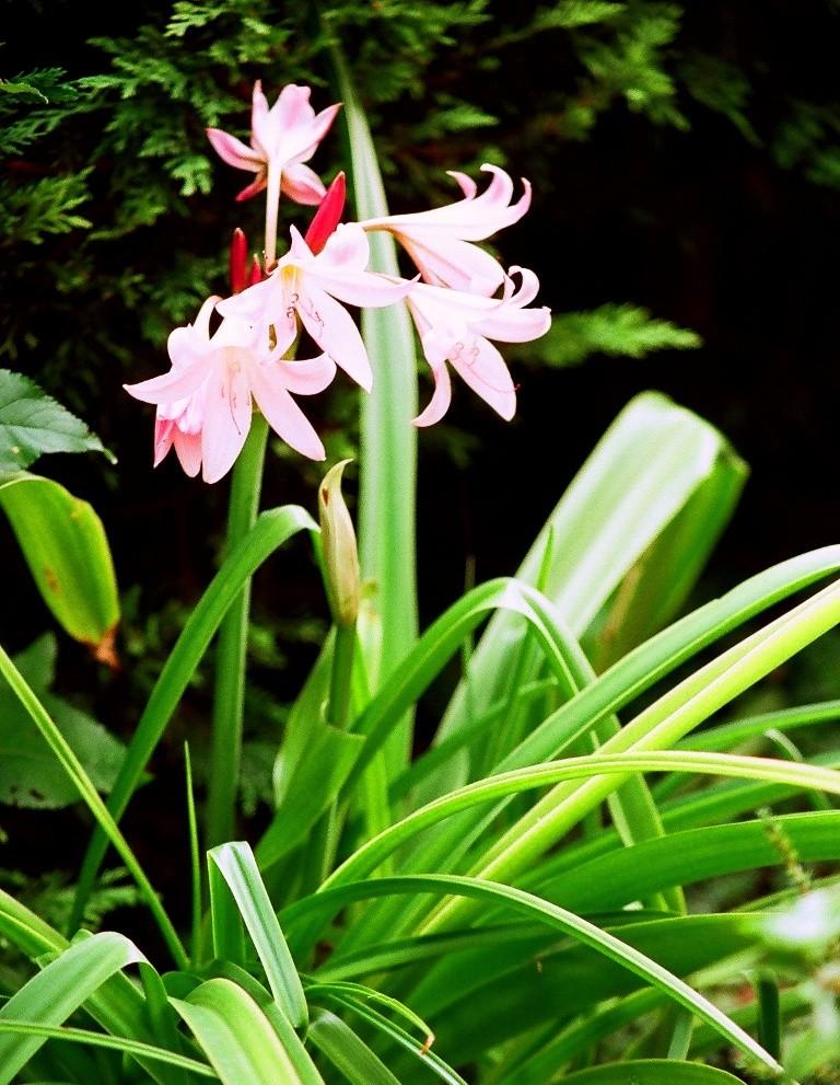 Bulbeuses exotiques acclimatables au jardin ( Liliacées, ( Amaryllidacées, Iridacées...) 14070010