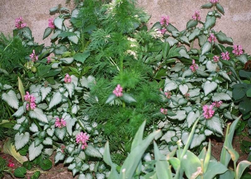 Quelques plantes d'ombre ou mi-ombre 85500012