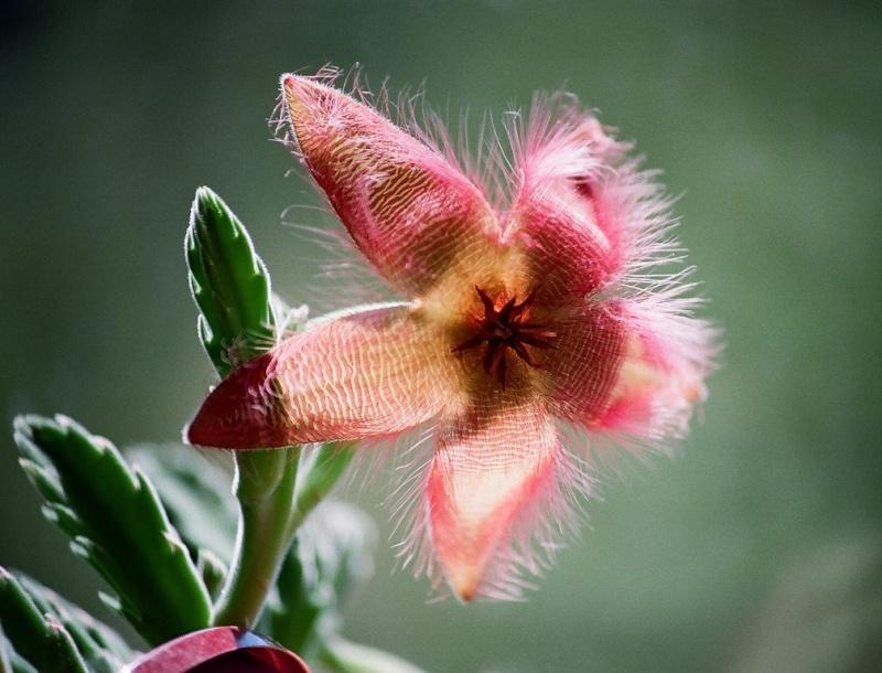 Asclepiadaceae Stapel10