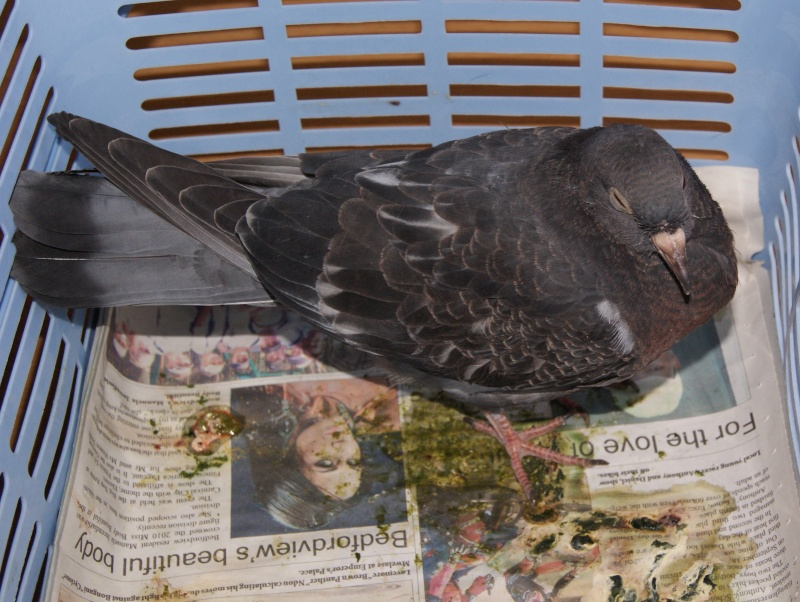 Pigeon with Coccidiosis - bad poop!!! Beware! Cocci10