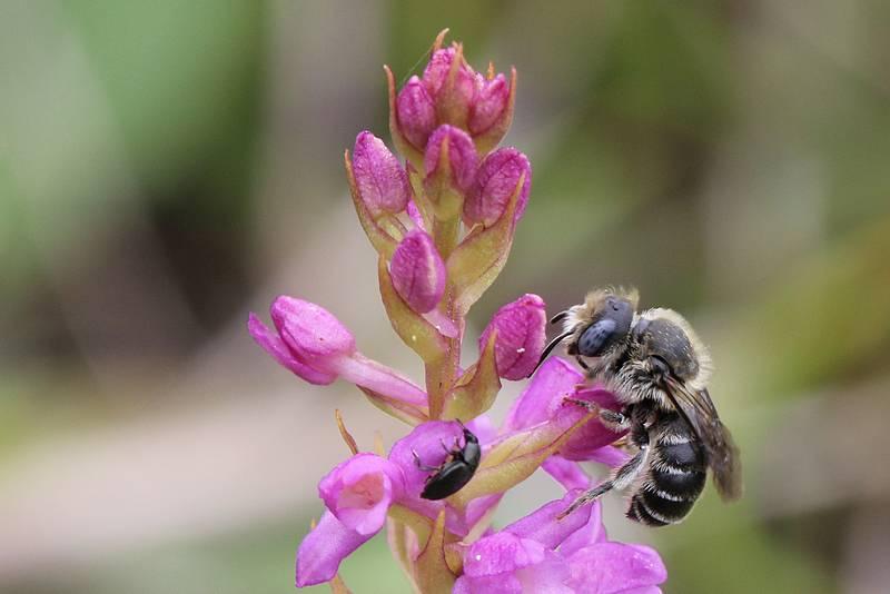 Sur Gymnadenia odoratissima Odo210