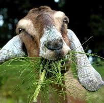 Location de chèvres pour tondre la pelouse Chavre10