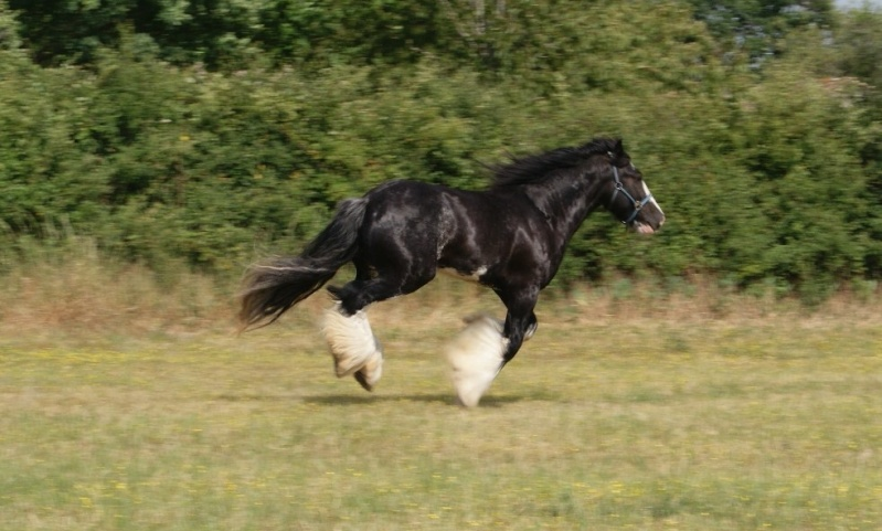 FABORGAS Etalon Irish Cob noir sabino agrée. News photos 5 ans  p 4 ! Dsc01419