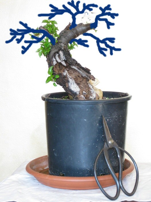 """Prunus mahaleb """"Stelo di giada"""". Insert10"""