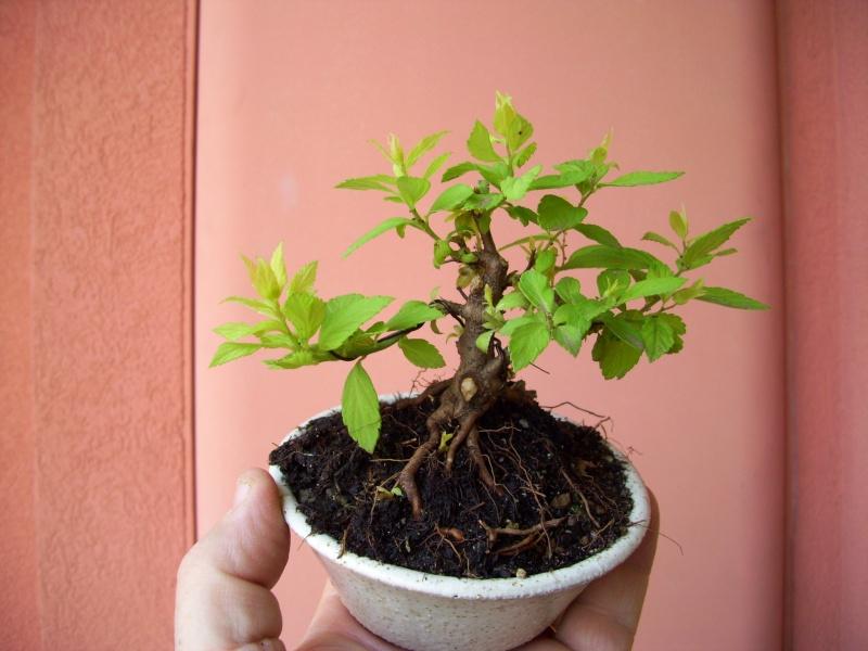 Spirea Japonica fresca fresca Spirea12