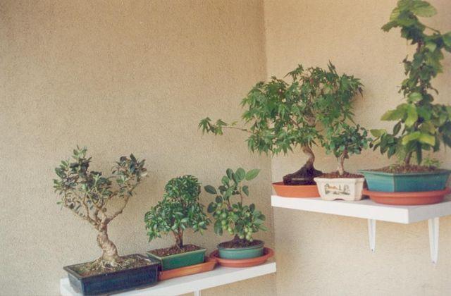 Come avete iniziato a fare bonsai? Via_ro10