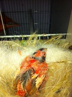 Colour fed Lipochrome in the nest Photo10