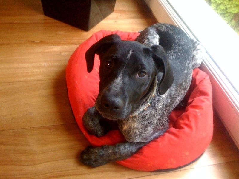 PONGO - 4,5 mois - Mâle croisé chien de chasse noir truité et blanc Nico_p10