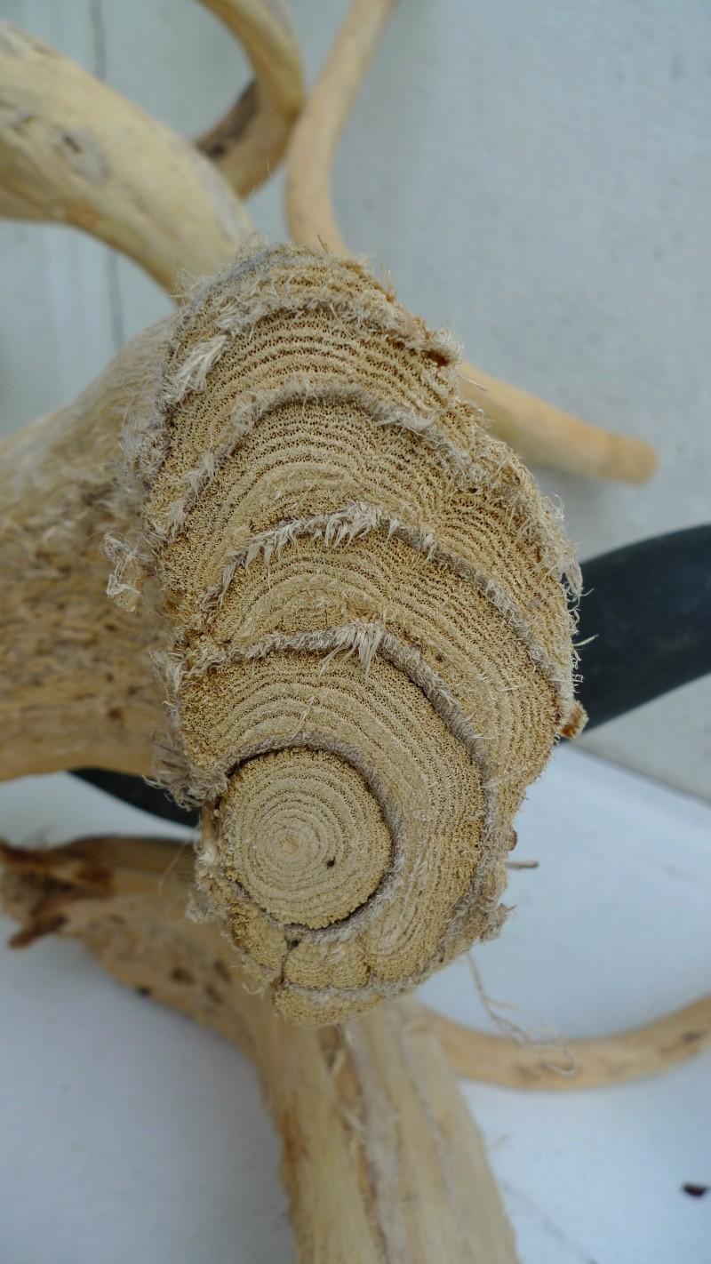 le bois de glycine  L1100314