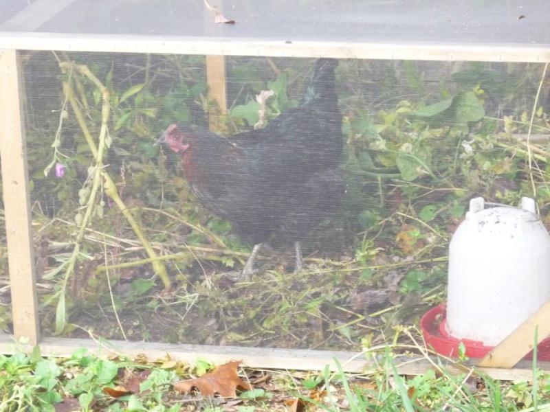Hey Boffer, I finally got my chicken tractor 00413