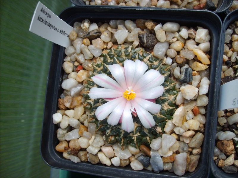 Ariocarpus-Blütensaison 2011 Sd530368