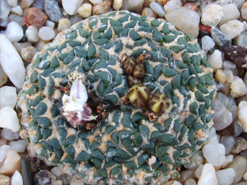 Suche Ariocarpus Kotschubejanus x Scapharostrus Sd530512