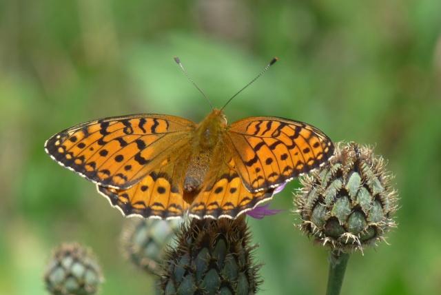 Identification d'un papillon P1080510