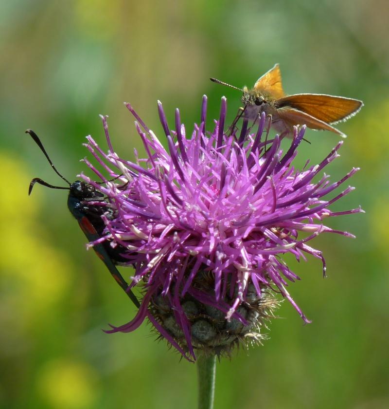 Identification d'un papillon P1080511