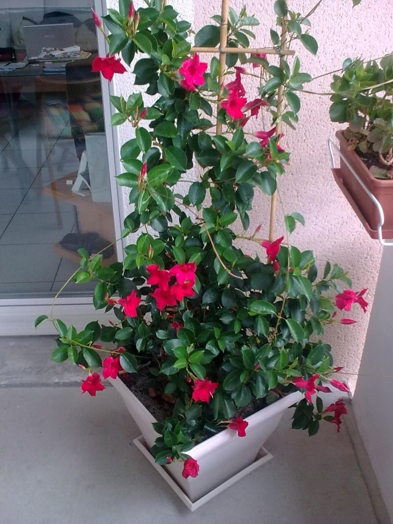 Dipladénia sans fleurs 14082010