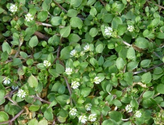 Chickweed-Stellaria Media Chickw13