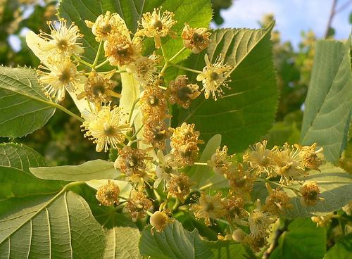 Linden tree Linden10