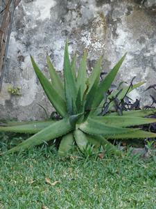 La sábila es una planta generosa Sabila10