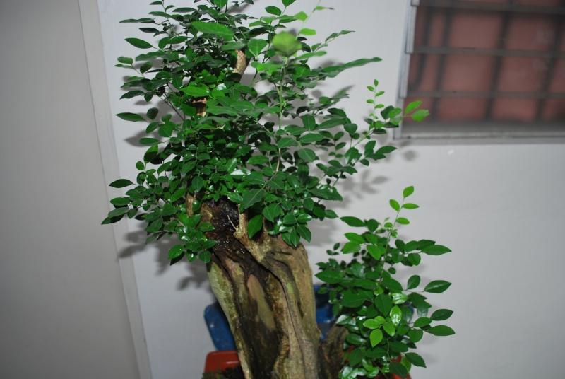 murraya paniculata        mock orange Dsc_1441