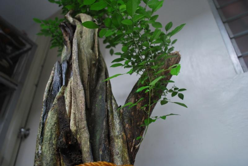 murraya paniculata        mock orange Dsc_1443