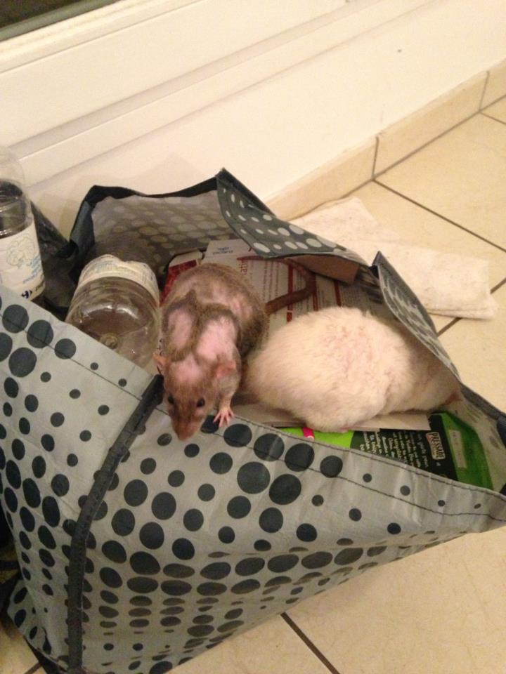 Les rats patchwork 39259510