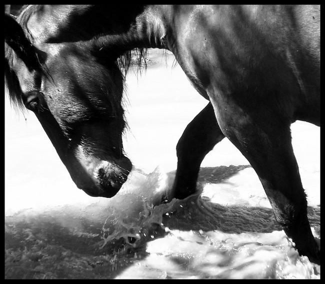 Les chevaux et l'eau, venez votez... S6000112