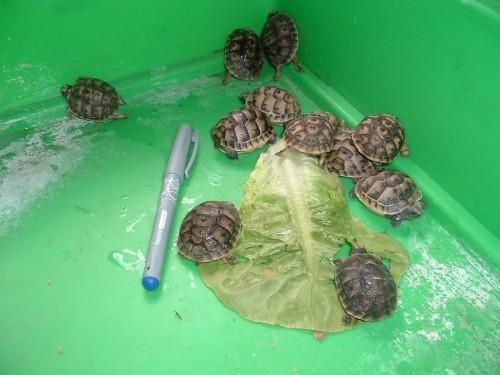identification des tortue  1_110